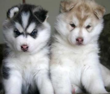 Alaskan Siberian Husky Puppy
